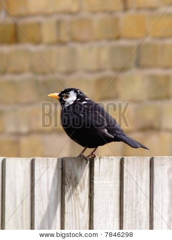 Blackbird - White Face (leucism)