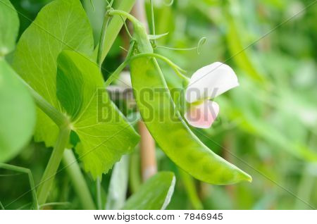 Growing Snow Peas