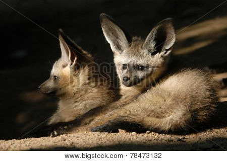 Bat-eared fox cubs (Otocyon megalotis).