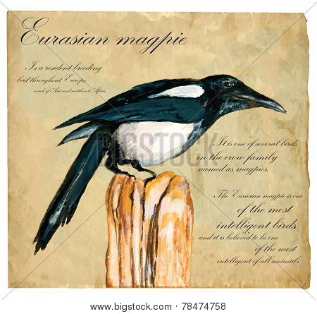 Hand Painted Illustration (vector), Bird: Magpie