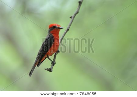 Zinnoberrot Flycatcher Pyrocephalus Rubinos