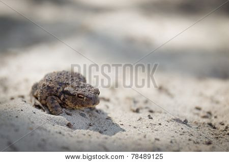 Wary Common Toad Or Bufo Bufo With Slit Eye