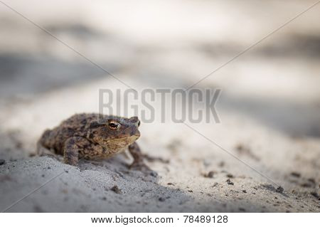 Alert Common Toad Or Bufo Bufo With Slit Eye