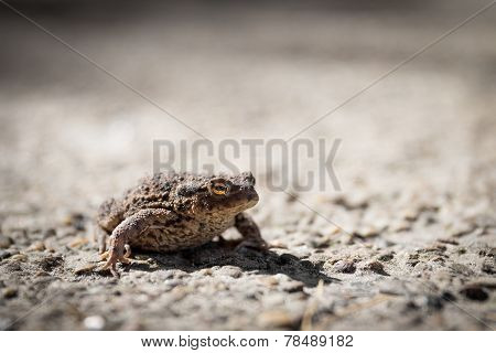 Common Toad Or Bufo Bufo With Slit Eye