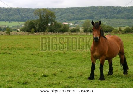 Drafthorse looking out