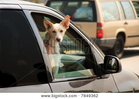Dog with head out the car window