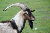 A wild goat located in a zoo. poster