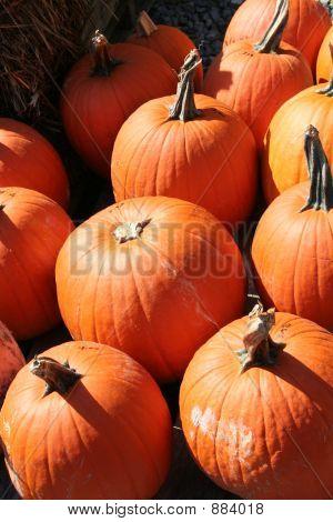 ripe full orange pumpkins sitting in the sunshine.