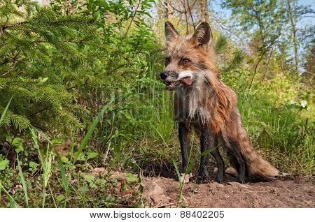Red Fox Vixen (vulpes Vulpes) With Meat Snack In Her Mouth