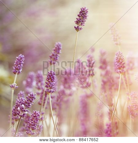Beautiful lavender flower