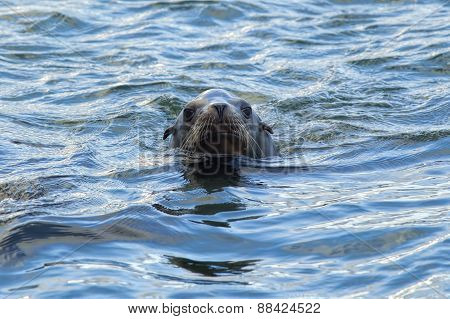 Swimming sea lion.