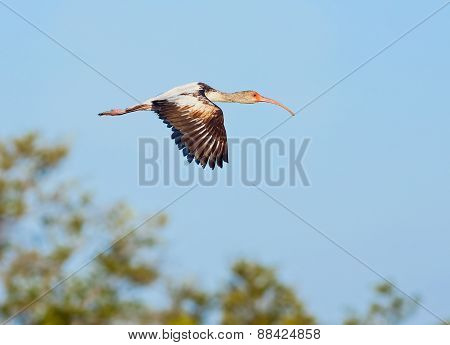 Young Ibis In Flight