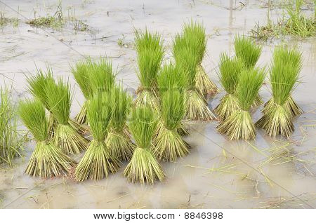 Rice Agriculture Preparation