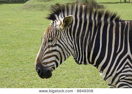 Sad Faced Zebra