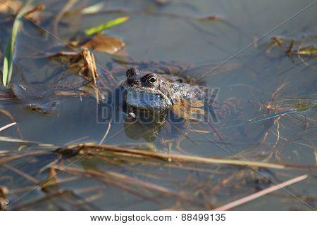 Common Frog (Rana temporaria )