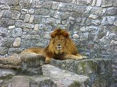 african lion near stone wall in zoo poster