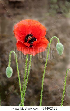 Red Flower, Green Velvety Buds