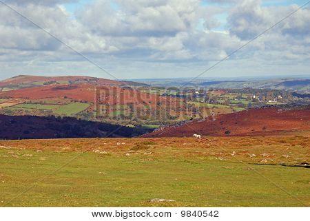 Dartmoor Pony, Devon, Uk