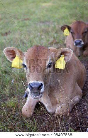Two Calfs Ly In Grass Of Meadow