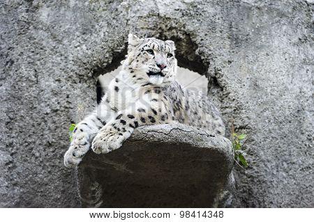 Snow leopard irbis