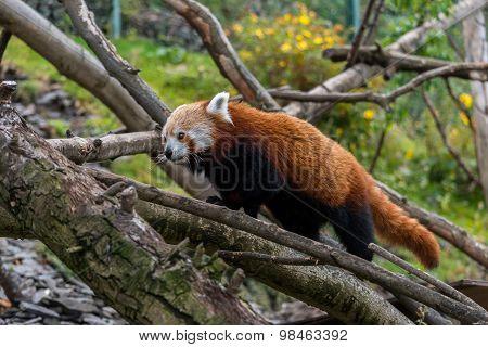 Red Panda Walking In Some Trees