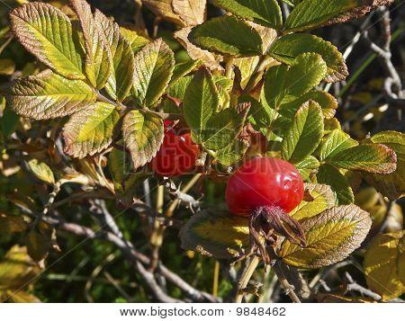 Ripe Rosehips Of Ramanas Rose (rosa Rugosa)