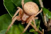 This is a macro shot of a hairy brown spider. poster