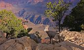 Bighorn junvenile ram  with Grand Canyon in the back ground. Grand Canyon National Park, Arizona, USA. poster