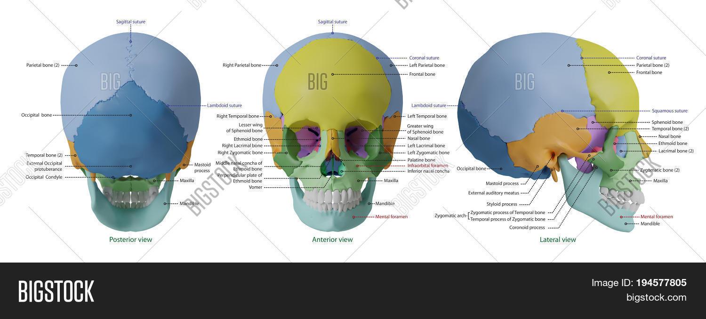 Anatomy Human Skull Image & Photo (Free Trial) | Bigstock