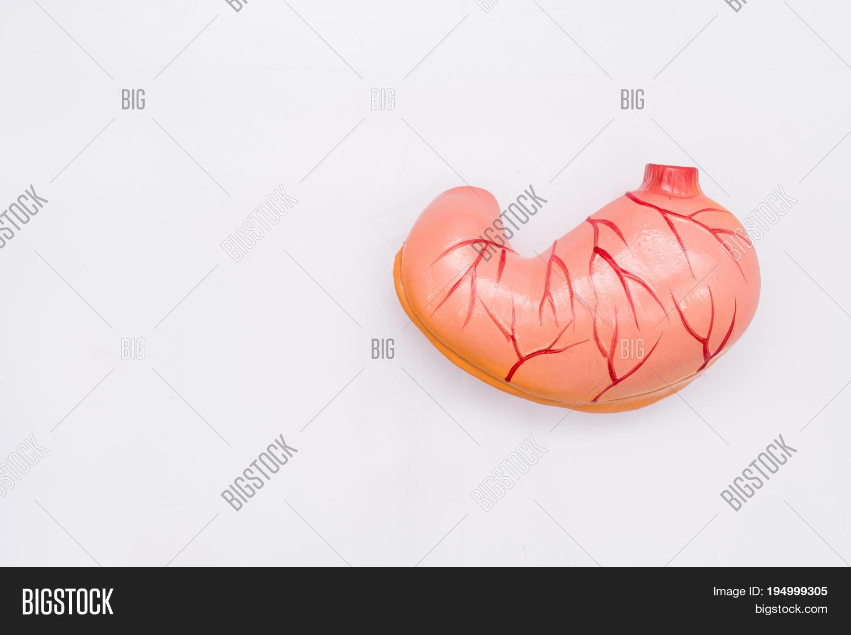 Close- Internal Organs Image & Photo (Free Trial) | Bigstock