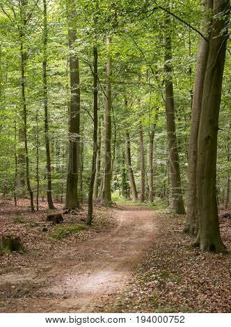 path through the beechwood forest in springtime and sunbeams