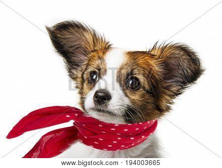 cute papillon puppy isolated over a white
