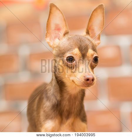 Portrait of a brown slender toy terrier on a brown background