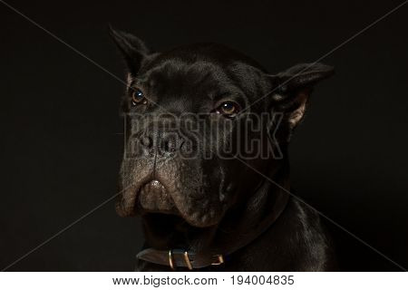 Puppy age 3 months of Cane Corso of black color on a black background