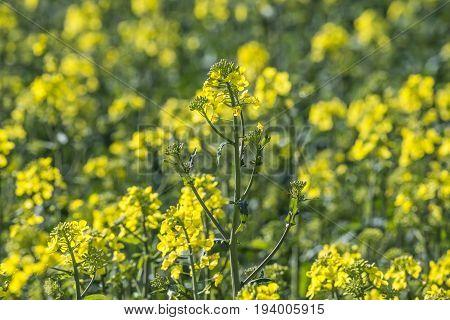 rape plant (canola rapeseed) in detail on field