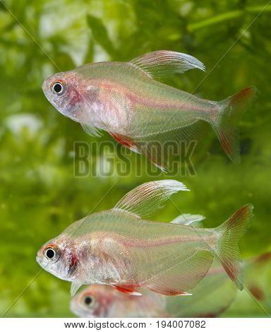Hyphessobrycon rosaceus - aquarium fish - Rosy Tetra