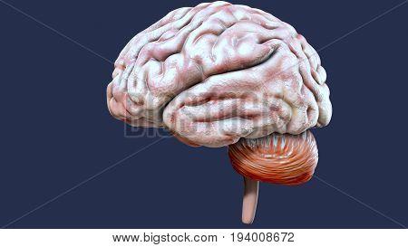 3d illustration of human body organ (brain anatomy)