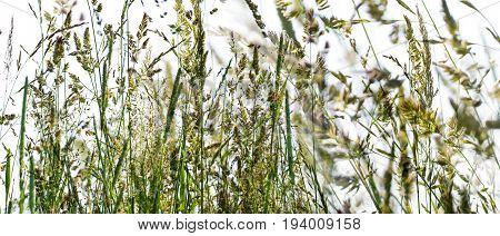 flowering grass in detail -  pollen allergens