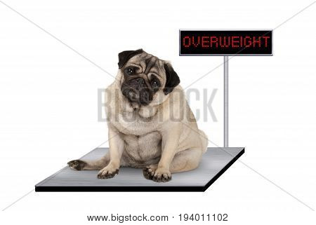 heavy fat pug puppy dog sitting down on vet scale with overweight LED sign isolated on white background