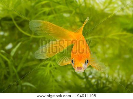 Carassius auratus auratus - gold fish - aquarium fish