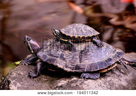 A mom red eyed slider turtle and her young sitting on her back.