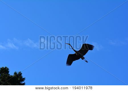 A silhouette of a great blue heron at it soars in the sky.