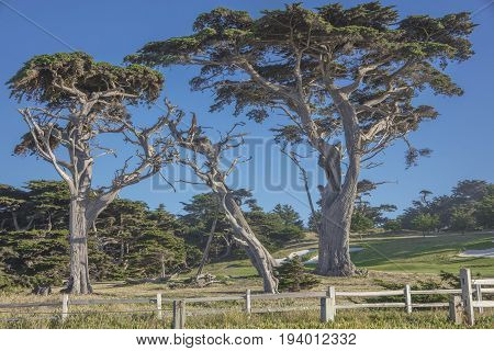 Cypress Trees along 17 Mile Drive near Fanshell Overlook Pebble Beach California
