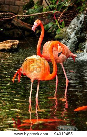 A pair of pink flamingos  wade in the pond with the koi fish