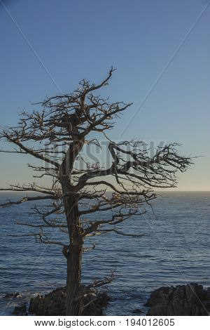 Single Cypress Tree along coastline of 17 Mile Drive Pebble Beach California