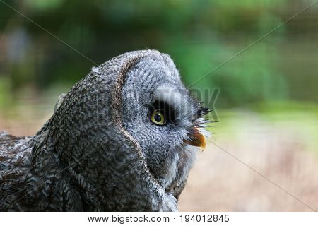 Close up of a great grey owl looking to the right with beautiful yellow eyes and orange beak with a blurred green background of trees and space for text.