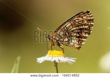 Macro photo of a heath fritillary (Melitaea athalia) butterfly.