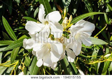 white oleander blossoms on a oleander bush in summer