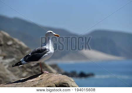 A seagull resting on a rock near the pacific ocean