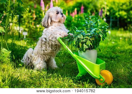Cute shih tzu dog in summer garden with wheelbarrow and plant